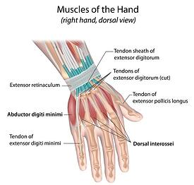 muscles_of_the_hand